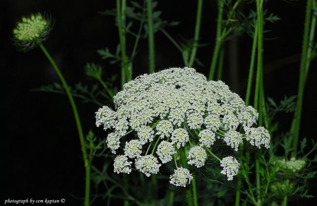 Name:  Oenanthe-pimpinelloides-delimaydanoz-apiaceae.jpg Views: 1207 Size:  43.0 KB