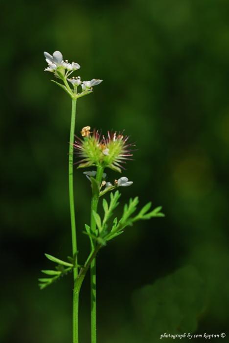 Name:  Torilis_nodosa-K.pasa-Belkahve (3)apiaceae.jpg Views: 1253 Size:  21.5 KB