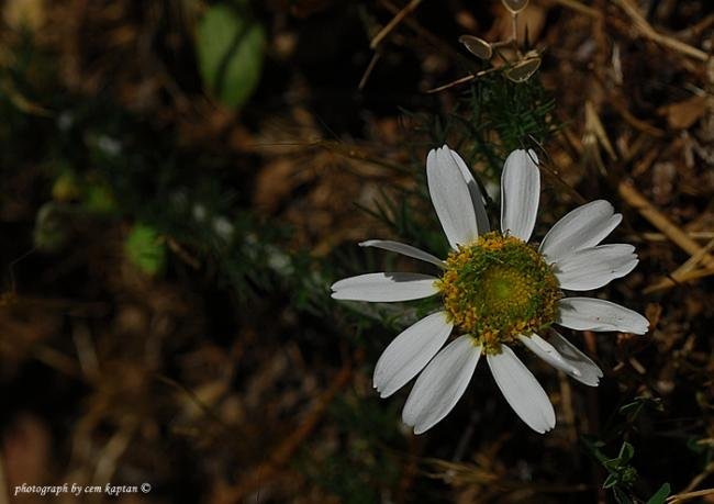 Name:  Anthemis_aciphylla-nif (2).jpg