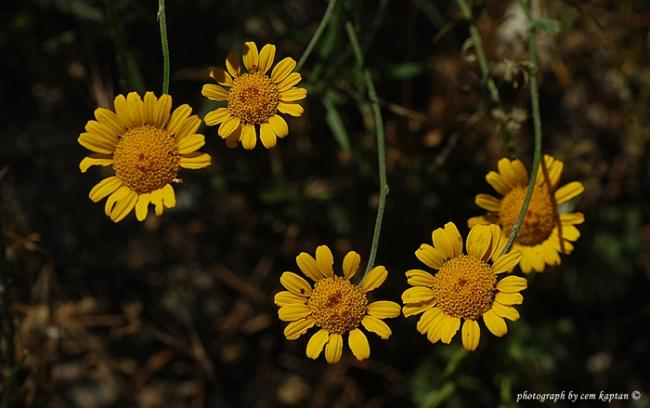 Name:  Anthemis_tinctoria-NIF (35).jpg