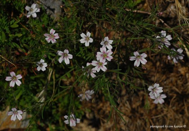Name:  Gypsophila_tubulosa-Nif (3).jpg