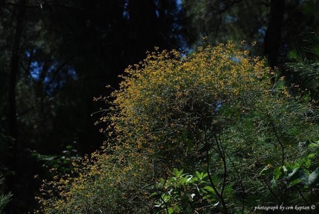 Name:  Adenocarpus_complicatus-Mahmut (2).jpg Views: 856 Size:  62.1 KB