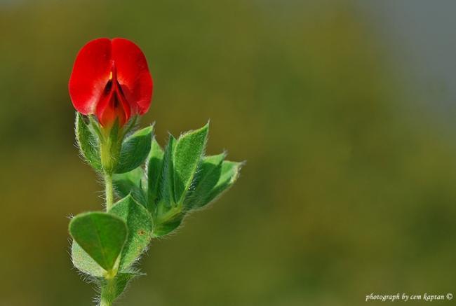 Name:  Tetragonolobus_purpureus-Demircili-Ada (18).jpg Views: 794 Size:  18.4 KB