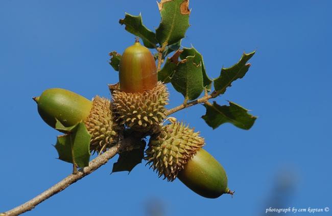 Name:  Quercus_coccifera-Kermes-Mesesi (8).jpg Views: 1336 Size:  26.9 KB