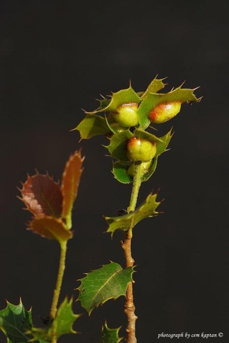 Name:  Quercus_coccifera-Kermes-Mesesi (28).jpg Views: 860 Size:  24.1 KB