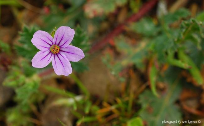 Name:  Erodium_Botrys.jpg