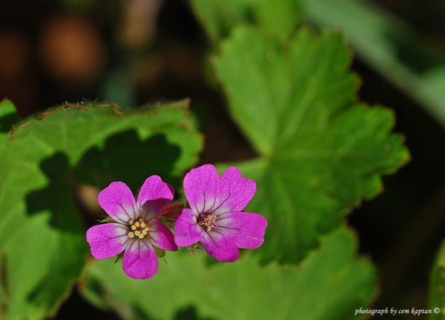 Name:  Geranium_Lucidum-Buyuk-Koklu-Turnagagasi_Parlak-Turnagagasi (4).jpg Views: 841 Size:  27.5 KB