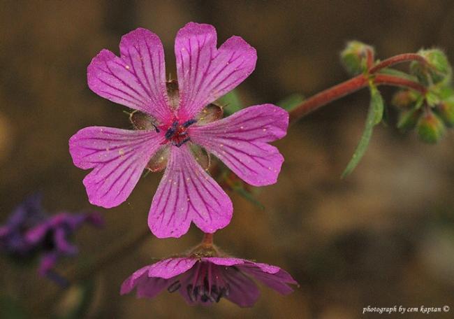 Name:  Geranium_Macrostylum1.jpg Views: 787 Size:  34.6 KB