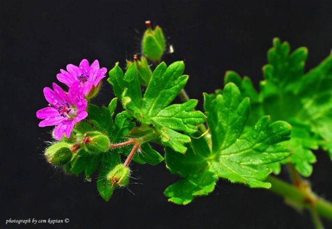 Name:  Geranium_Molle-Esmer-Turnagagasi (23).jpg