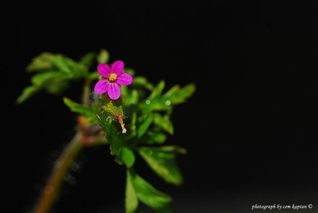 Name:  Geranium_Purpureum (28).jpg Views: 768 Size:  15.5 KB