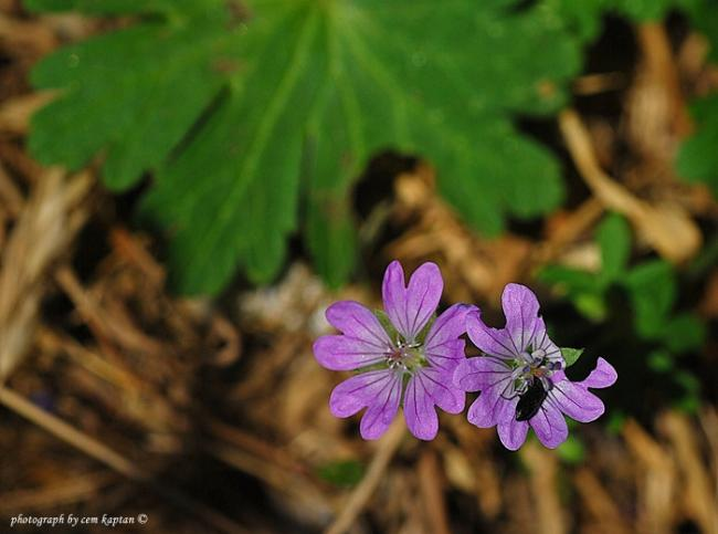 Name:  Geranium_Pyrenaicum-Mahmut.jpg