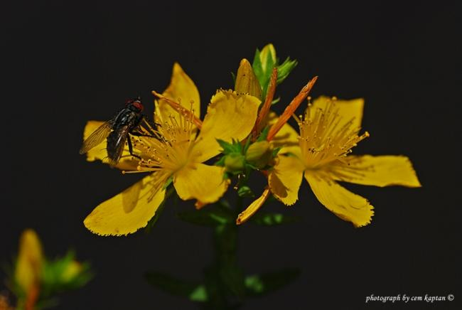 Name:  Hypericum_Lydium (15).jpg