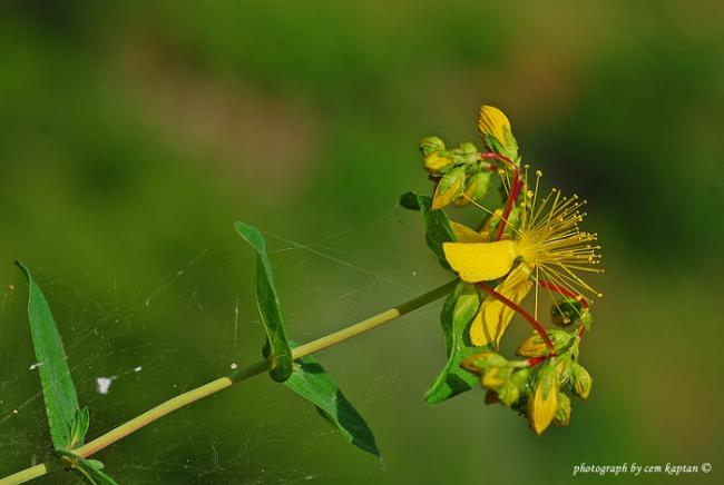 Name:  Hypericum_Perforatum (6).jpg