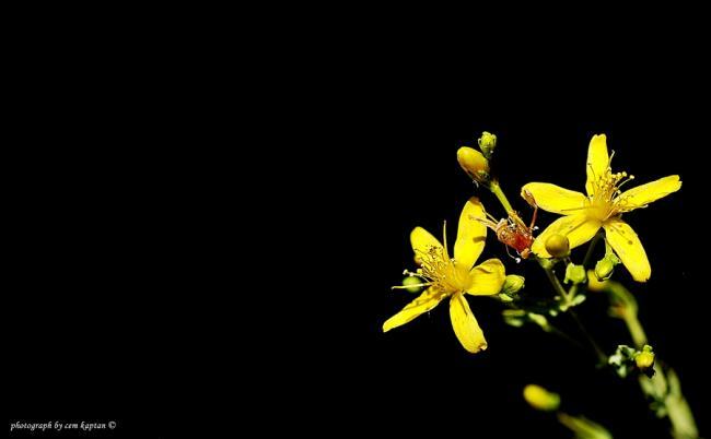 Name:  Hypericum_Triquetrifolium.jpg Views: 859 Size:  17.4 KB