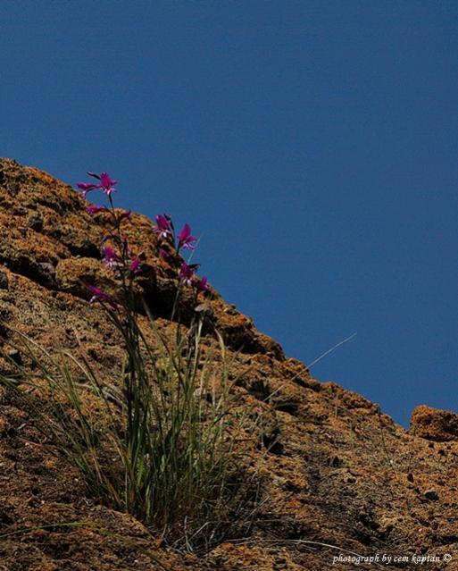 Name:  Gladiolus_Anatolicus-gUMULDUR-ENDEMIK (8).jpg Views: 831 Size:  57.9 KB