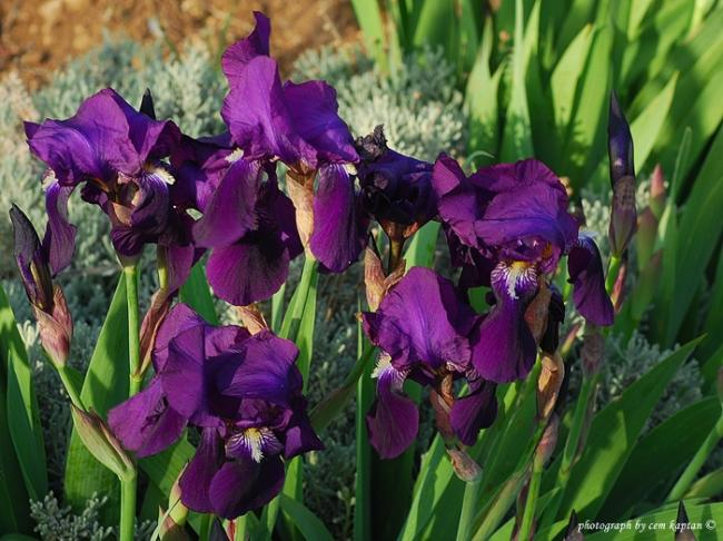 Name:  Iris_germanica-EUBB (1).jpg
