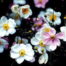 Name:  anemone.jpg Views: 8350 Size:  16.9 KB