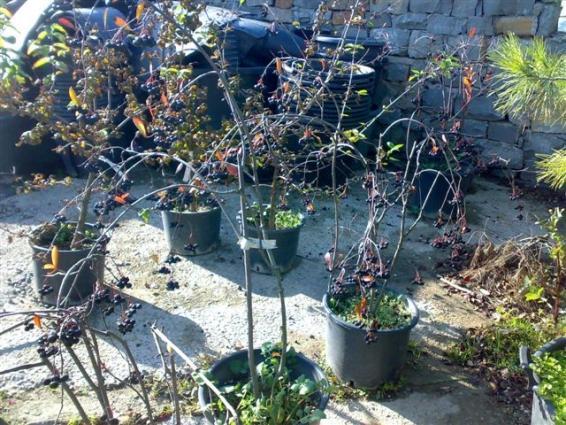 Name:  Aronia melanocarpa ,chokeberry 2.jpg Views: 10885 Size:  71.7 KB