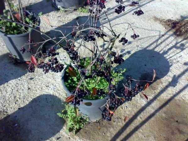 Name:  Aronia melanocarpa ,chokeberry.jpg Views: 11408 Size:  70.1 KB