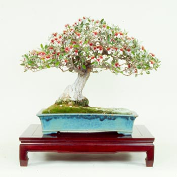 Name:  bonsai.jpg