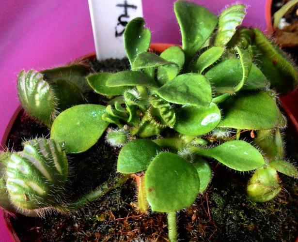 Name:  cephalotus.jpg