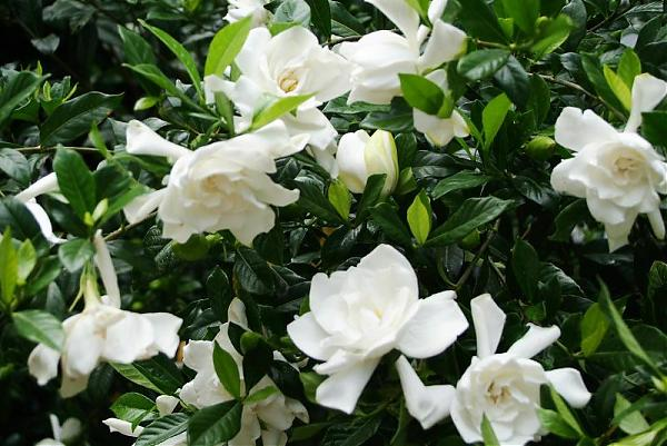 Name:  gardenia.jpg