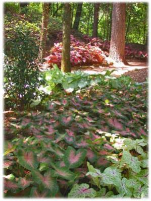 Name:  Caladiums.lg.jpg