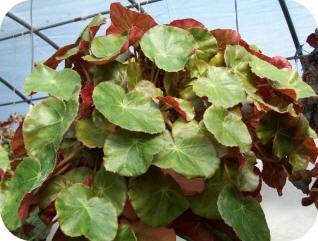 Name:  begonia-1.jpg Views: 4019 Size:  23.6 KB