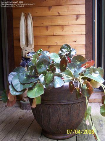 Name:  begoniahdrocotifolia.jpg Views: 2686 Size:  35.0 KB