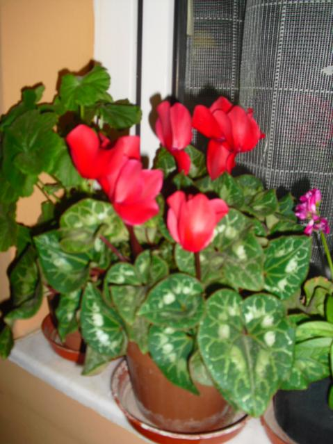gardenia jasminoides gardenya page 43. Black Bedroom Furniture Sets. Home Design Ideas