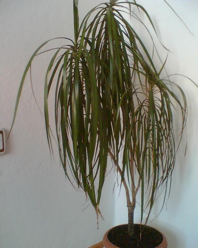 Dracaena: Yaprakların uçları kurudu. Dracaena marginate - evde bakım