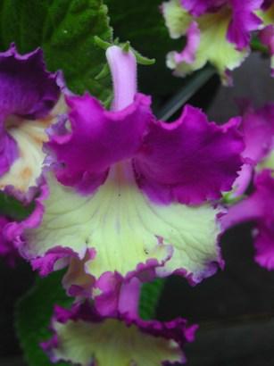 Name:  Streptocarpus1jpg.jpg Views: 3526 Size:  35.8 KB