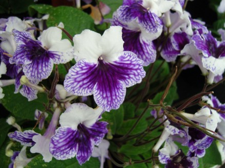 Name:  Streptocarpus Blue Leyla.jpg Views: 4679 Size:  45.4 KB