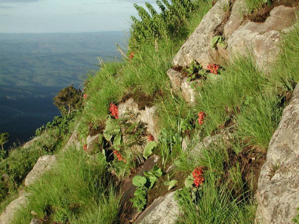 Name:  Streptocarpus dunnii.jpg Views: 6625 Size:  70.5 KB