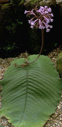 Name:  Streptocarpus grandis.jpg Views: 4817 Size:  22.1 KB