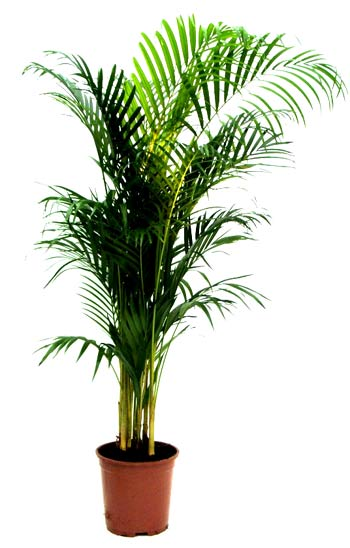 Name:  Areca.jpg