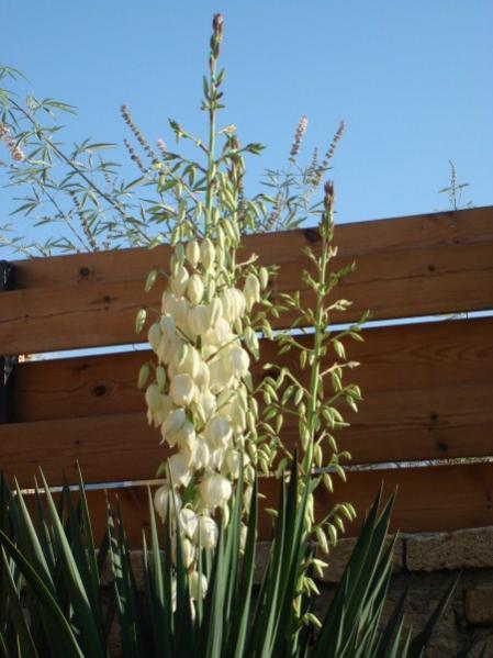 Name:  yucca closeup.jpg Views: 2647 Size:  40.5 KB