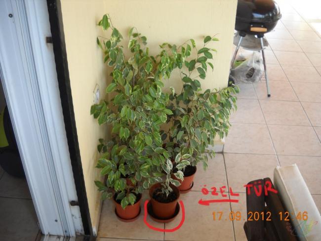 Name:  Ficus_Benjamin_Starlight.jpg Views: 4579 Size:  45.4 KB