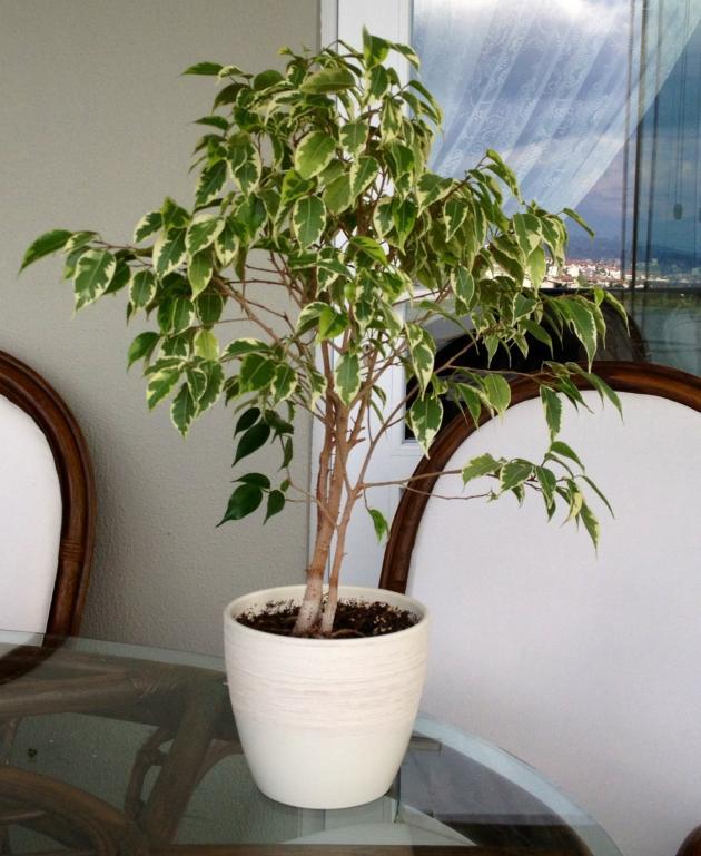 Фикус бенджамина уход в домашних условиях почему опадают листья 81