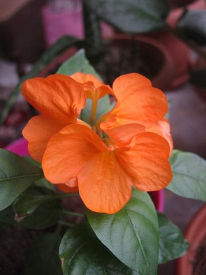 Name:  crossandra.jpg