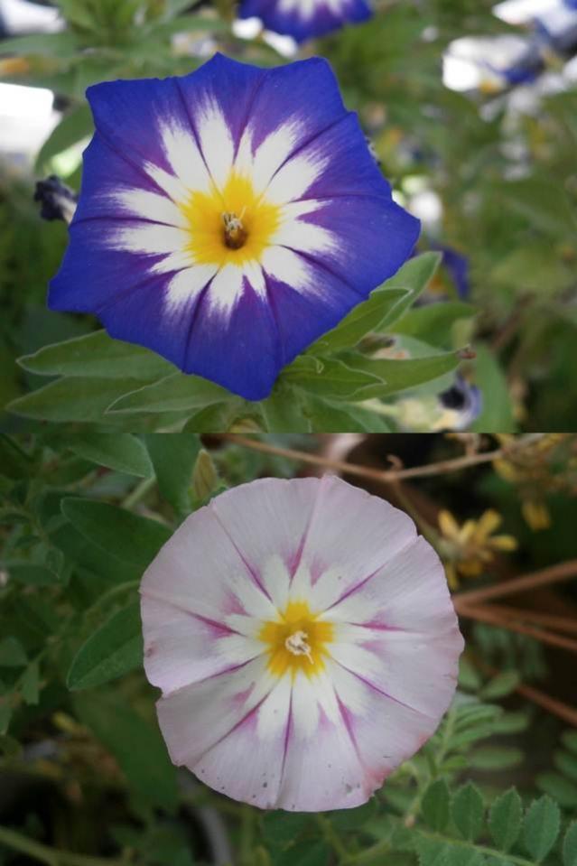 Name:  Convolvulus tricolor - Gündüz Sefası.jpg Views: 9748 Size:  56.2 KB