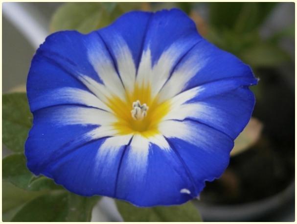 Name:  Convolvulus tricolor - Gündüz Sefası.jpg Views: 8624 Size:  27.5 KB