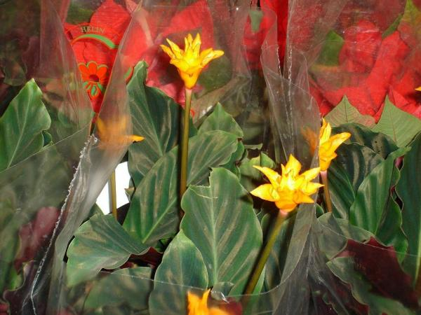 Name:  Calathea crocata.jpg Views: 15977 Size:  47.2 KB