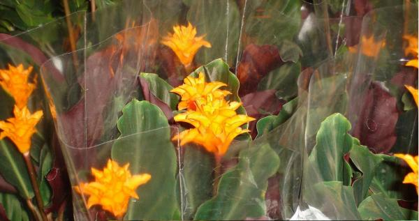 Name:  Calathea crocata1.jpg Views: 14275 Size:  33.7 KB