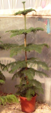 Name:  Araucaria_heterophylla.JPG