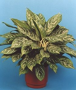 Name:  aglaonema.jpg