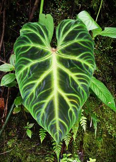 Name:  Philodendron verrucosum1.jpg