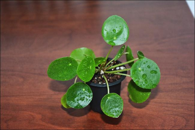 Name:  Pilea Peperomioides (1).jpg