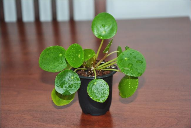Name:  Pilea Peperomioides (2).jpg