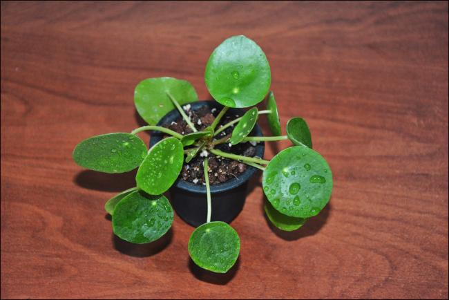 Name:  Pilea Peperomioides (3).jpg